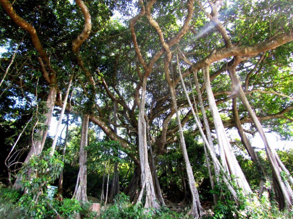 cây đa ngàn năm